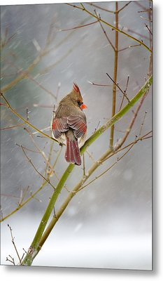 Cardinal On Maple Tree Metal Print by Robert Camp