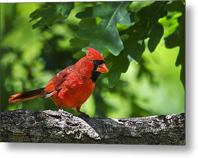 Cardinal Red Metal Print by Christina Rollo