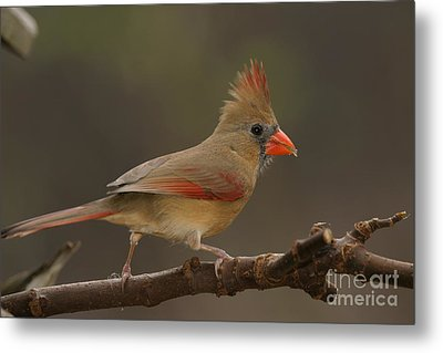Cardinal Metal Print by Russell Christie