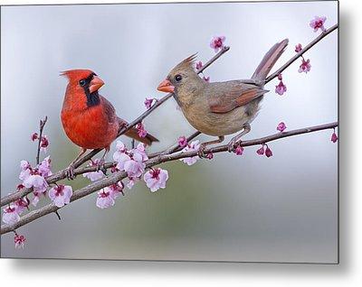 Cardinals In Plum Blossoms Metal Print