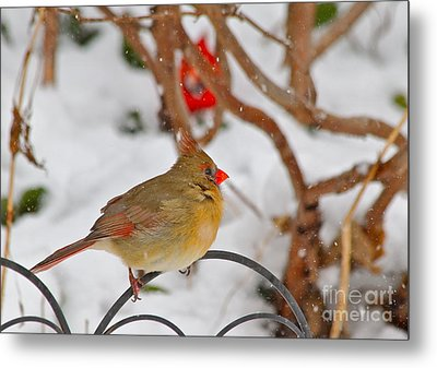 Cardinals  Metal Print by Jay Nodianos