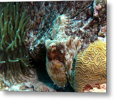 Caribbean Reef Octopus Next To Green Anemone Metal Print