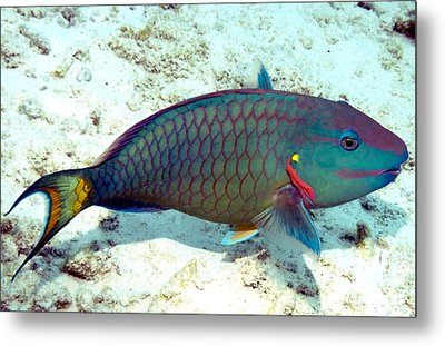 Metal Print featuring the photograph Caribbean Stoplight Parrot Fish In Rainbow Colors by Amy McDaniel