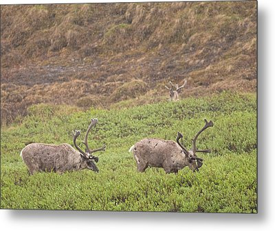 Caribou In The Rain Metal Print by Brian Magnier