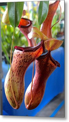 Carnivorous Pitcher Plants Metal Print by Venetia Featherstone-Witty