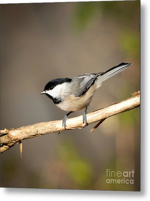 Carolina Chickadee  Metal Print by Kerri Farley