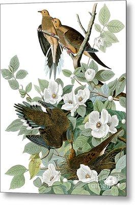 Carolina Pigeon Metal Print by Celestial Images
