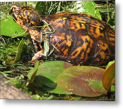 Carolina The Box Turtle In Pond Metal Print by Cleaster Cotton