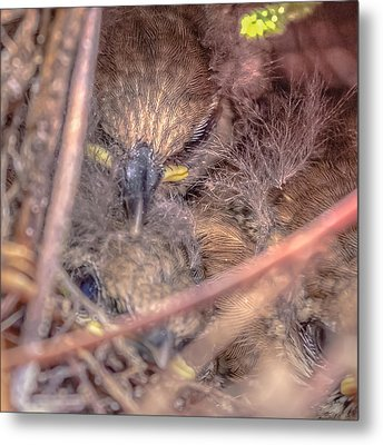 Metal Print featuring the photograph Carolina Wren Nest by Rob Sellers