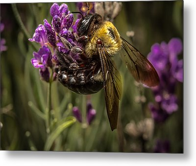 Carpenter Bee On A Lavender Spike Metal Print by Ron Pate