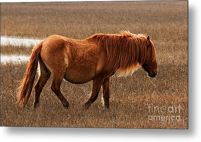 Carrot Island Pony Metal Print by Sharon Seaward