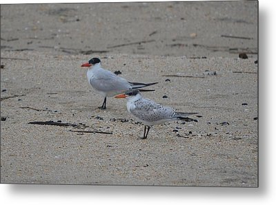 Metal Print featuring the photograph Caspian Tern Young And Adult by James Petersen
