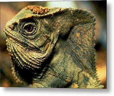 Casque-headed Iguana Metal Print
