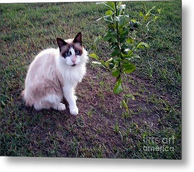 Metal Print featuring the photograph Cat 'n Orange Tree by Joseph Baril