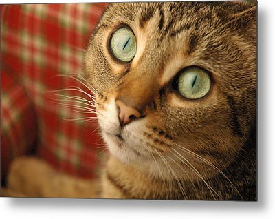 Cat On Plaid Couch Metal Print by Gary Marx