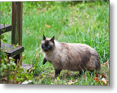 Cat Walking Metal Print by Melinda Fawver