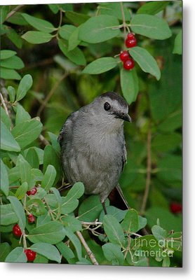 Metal Print featuring the photograph Catbirds Meow by Anita Oakley