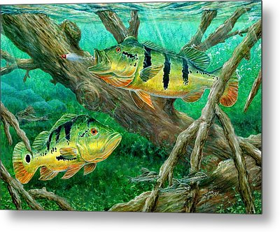 Catching Peacock Bass - Pavon Metal Print by Terry Fox
