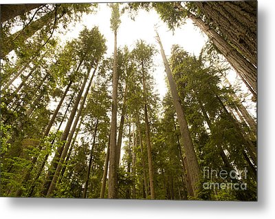 Metal Print featuring the photograph Cathedral Forest by Artist and Photographer Laura Wrede