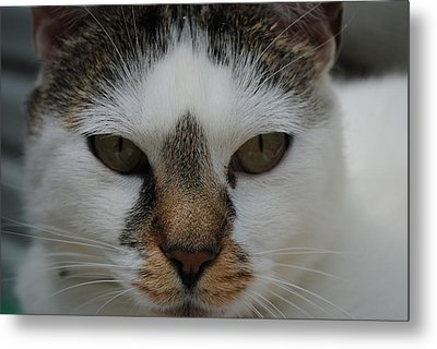 Cat's Stare Metal Print by Robert  Moss