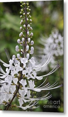 Cat's Whisker Flower In Garden Metal Print by Sami Sarkis