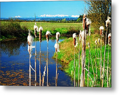 Cattails Seen In Front Of The Olympic Mountains Metal Print