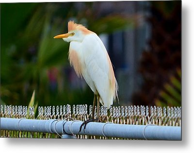 Metal Print featuring the photograph Cattle Egret Breeding Plumage by Debra Martz