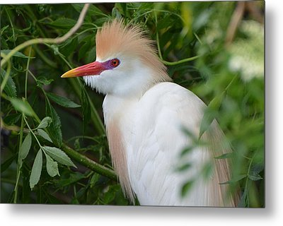 Cattle Egret In Breeding Season Metal Print