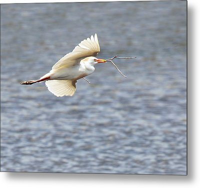Cattle Egret In Flight Metal Print by Dawn Currie