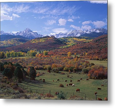 Cattle Grazing San Juan National Forest Metal Print by Panoramic Images