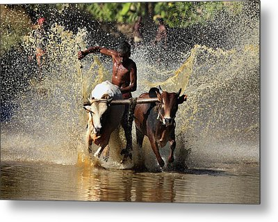 Cattle Race In Kerala South India Metal Print by Pradeep Subramanian