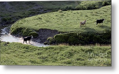 Cattle Running Metal Print by Andre Paquin