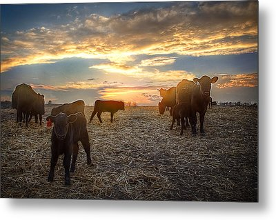 Cattle Sunset 2 Metal Print by Thomas Zimmerman