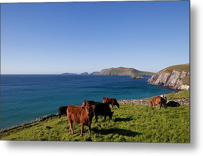 Cattle With Distant Blasket Islands Metal Print by Panoramic Images