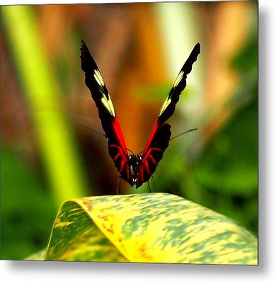 Metal Print featuring the photograph Cattleheart Butterfly  by Amy McDaniel