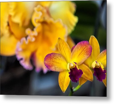 Cattleya Orchid Metal Print by Chris Flees