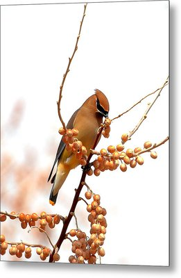 Cedar Wax Wing Metal Print by Floyd Tillery
