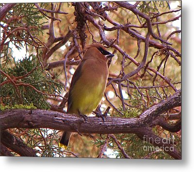 Cedar Wax Wing In Juniper Metal Print by Michele Penner
