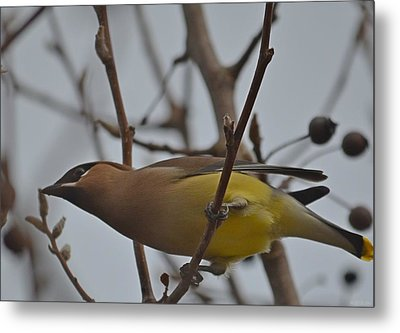 Metal Print featuring the photograph Cedar Waxwing Feasting In Foggy Cherry Tree by Jeff at JSJ Photography
