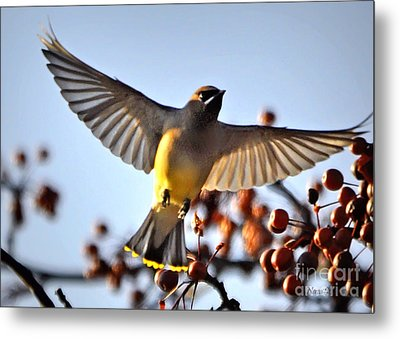 Cedar Waxwing Flight Metal Print
