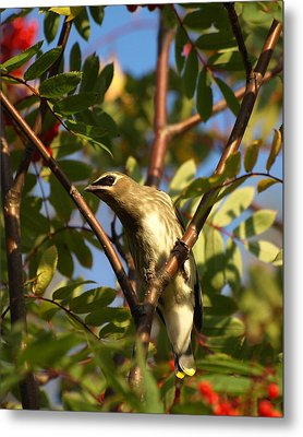 Metal Print featuring the photograph Cedar Waxwing by James Peterson