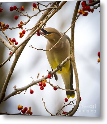 Metal Print featuring the photograph Cedar Waxwing by Ricky L Jones
