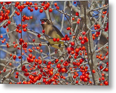 Cedar Waxwing In The Act Of Swallowing A Possumhaw Fruit Metal Print