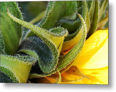 Celebration Sunflower Metal Print by Wendy Wilton