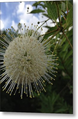 Cephalanthus Occidentalis The Button Bush  Metal Print