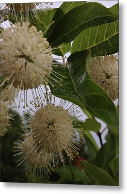 Cephalanthus Occidentals The Button Bush 2 Metal Print
