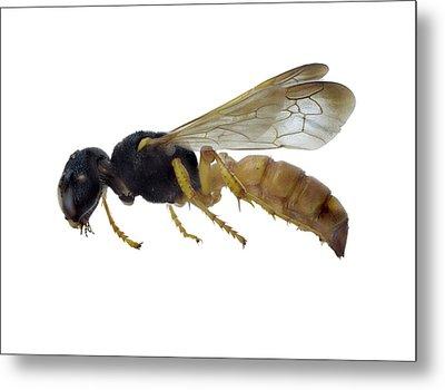 Cerceris Flaviventris Wasp Metal Print