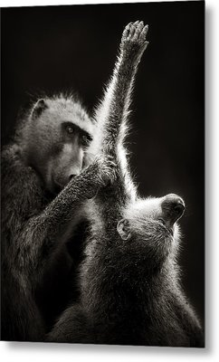Chacma Baboons Grooming Metal Print by Johan Swanepoel
