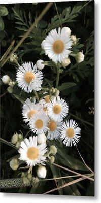 Chamomile Flowers. Metal Print
