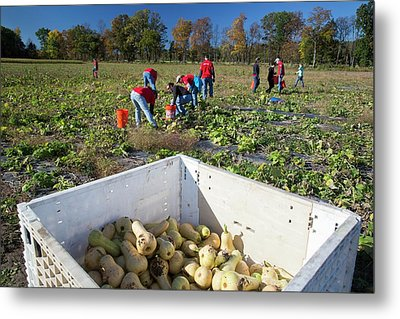 Charitable Use Of Leftover Crops Metal Print